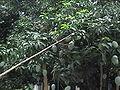 Mango 2 Chapainobabganj.JPG