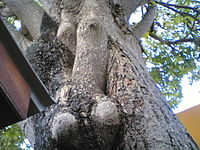 Manhood on a Tree (211364447).jpg