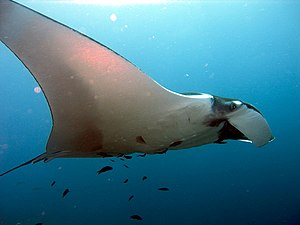 Manta ray - Side view of M. birostris
