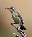 Marico sunbird, Cinnyris mariquensis at Mapungubwe National Park, Limpopo, South Africa - female.jpg