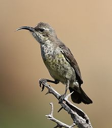 Marico sunbird, Cinnyris mariquensis at Mapungubwe National Park, Limpopo, South Africa - female.jpg