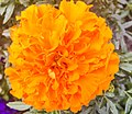 Marigold (92314837).jpeg