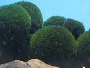 The marimo-forming green algae species Aegagro...