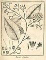 Maripa scandens Aublet 1775 pl 91.jpg
