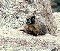 Marmota flaviventris001xx.jpg