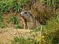 Marmota marmota 01.JPG