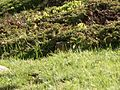 Marmotta trentino.JPG