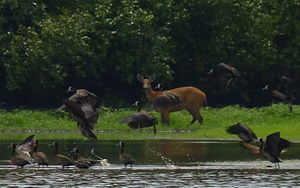 Cantão - A marsh deer grazing among a flock of white-faced whistling ducks