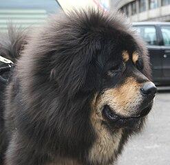 perro Dogo del Tíbet