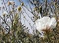 Matilija Poppies - Flickr - emdot (1).jpg