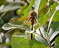 Mature male Brown Hawker. Aeshna grandis (32483779298).jpg