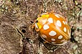 Meeldauwlieveheersbeestje (Halyzia sedecimguttata) (15097044255).jpg