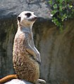 Meerkat-keping-watch.jpg