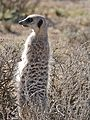 Meerkat (Suricata suricatta) sentinel looking out ... (32443915721).jpg