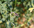 Megachile rotundata 2.jpg