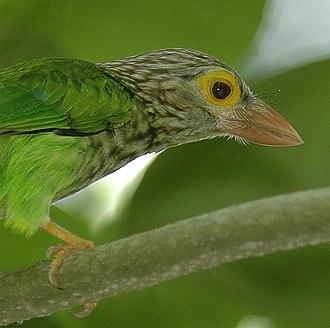 Asian barbet - Lineated barbet Psilopogon lineatus