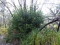 Melaleuca lophocoracorum 01.JPG