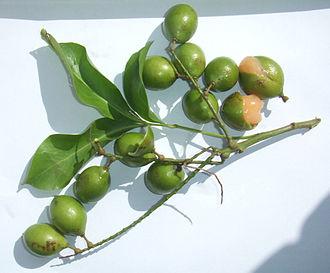 Melicoccus bijugatus - Quenepa leaf and fruit