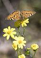 Melitaea collina - Hataylı İparhan 14.jpg