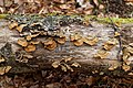 Mensularia nodulosa-Polypore du hêtre 1-20170311.jpg