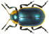 Mesoplatys cincta (Olivier, 1790) (8245535128).png