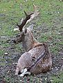 Mesopotamischer Damhirsch Dama dama mesopotamica Tierpark Hellabrunn-7.jpg
