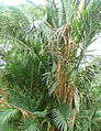 Metroxylon sagu, the Sago Palm.jpg