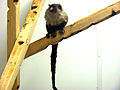 Mico melanurus (black-tailed marmoset).jpg