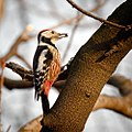 Middle spotted woodpecker (24971461931).jpg