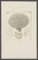 Millepora calcarea - - Print - Iconographia Zoologica - Special Collections University of Amsterdam - UBAINV0274 111 07 0020.tif