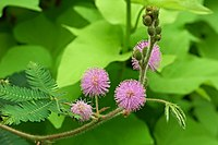 Mimosa (one of several species)