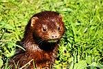 Mink - British Wildlife Centre (17068908708).jpg