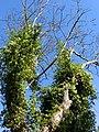 Misteln der Gattung Viscum - panoramio.jpg