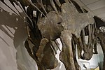 Moabosaurus BYU 2.jpg
