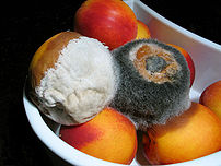 Moldy nectarines that were in a refrigerator. ...