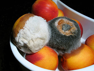 Mold health issues - Moldy nectarines that were in a refrigerator. The nectarine with black mold is also affecting the nectarine underneath.