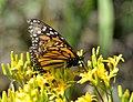 Monarch butterfly on Seedskadee National Wildlife Refuge (35022221540).jpg