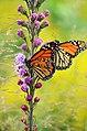 Monarch pair feeding on liatris (43292545715).jpg