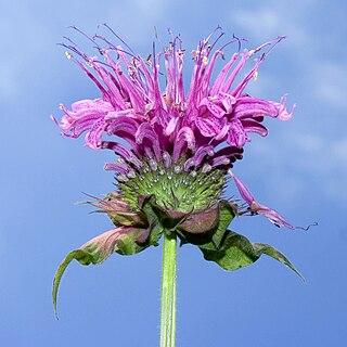 <i>Monarda</i> genus of plants