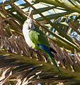 Monk Parakeet - Flickr - gailhampshire (1).jpg