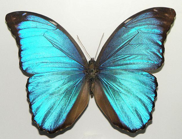 Morpho menelaus coeruleus