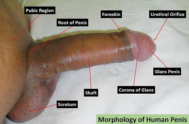penisgröße wikipedia