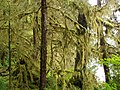 Mossy Trees - panoramio.jpg