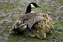 Photograph of several goslings sheltering under the wings of their mother