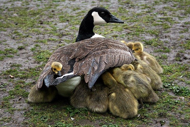 File:Mother shelters goslings.jpg