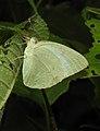 Mottled Emigrant Catopsilia pyranthe by Dr. Raju Kasambe DSCN1987 (5).jpg