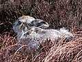 Mountain Hare - geograph.org.uk - 373125.jpg