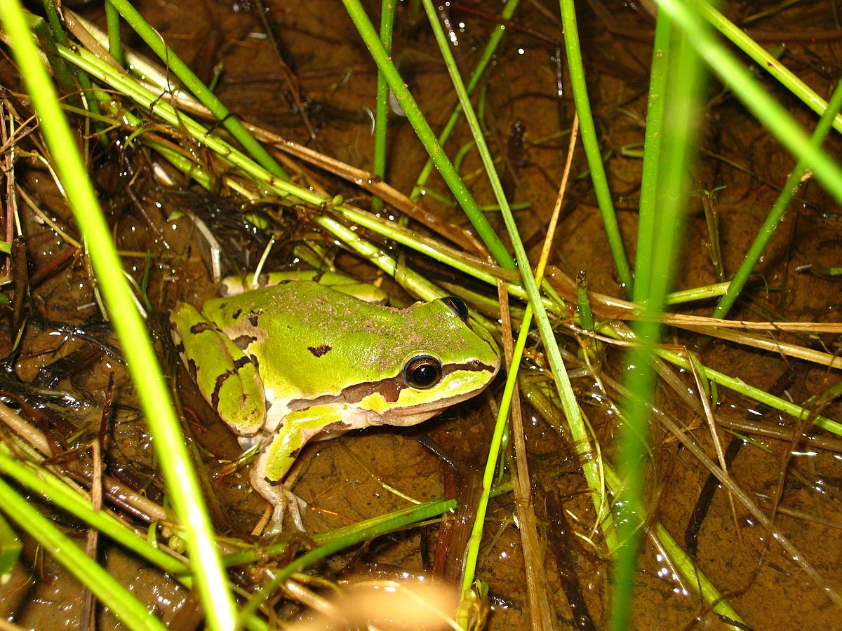 albert hazen wright s article on Climate warming and calling phenology of frogs near the records were made by albert hazen wright, an in-structor in zoology at cornell university, who report.