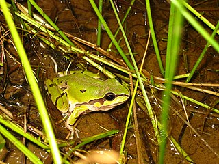 Wrights mountain tree frog species of amphibian