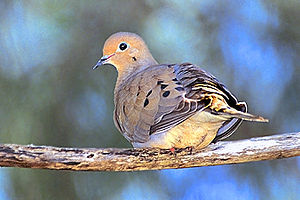English: Mourning Doves will perch for safety ...